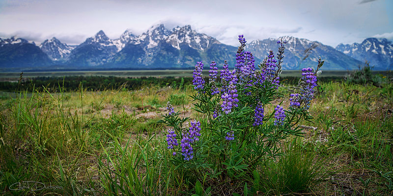 Lupine Beauty