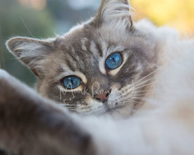 Close up of grey and white cat with blue eyes
