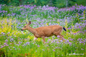 DEER SUMMER WILDFLOWERS MOUNT RAINIER NATIONAL PARK WASHINGTON COLOR