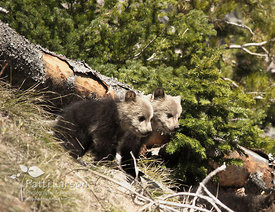 Grizzly Cubs  in Yellowstone