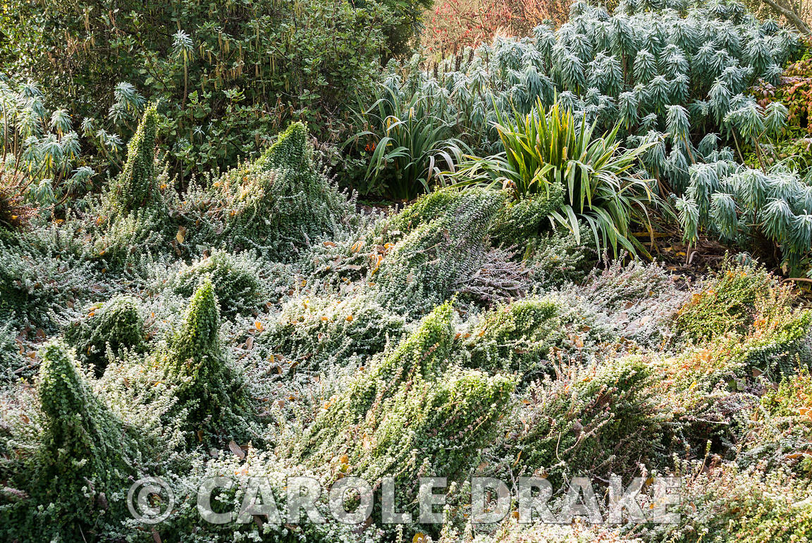 Frosted border in the Winter Garden with undulating mounds of Euonymus fortunei 'Minimus' with euphorbia and garrrya behind. ...