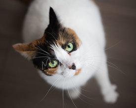 White Calico Cat Mix Close-Up from Above
