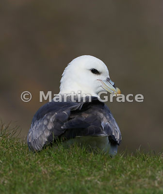 Northern Fulmar (Fulmarus glacialis), Sumburgh Head, Mainland South, Shetland, Scotland: edited B&W conversion of previous image