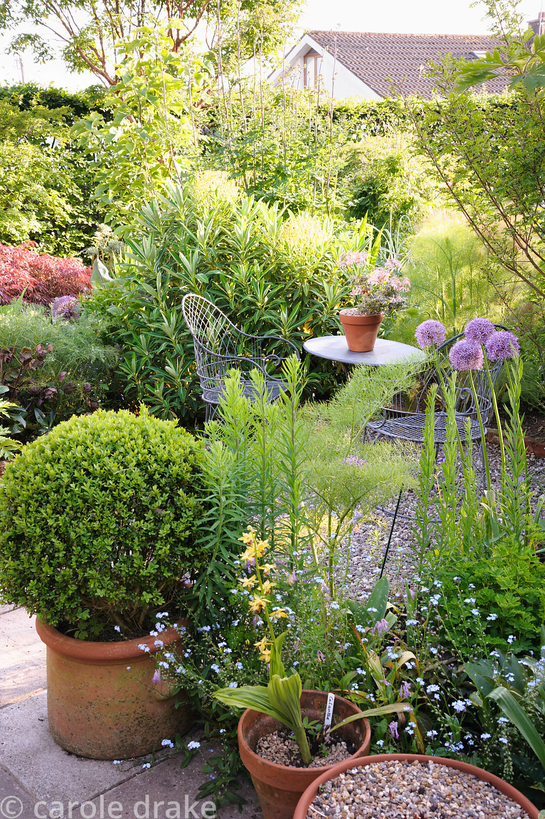Seating area in the back garden surrounded by euphorbia, fennel and purple alliums plus pots of clipped box and orchids.