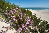 Flowers on a dune, De Hoop Nature Reserve, Western Cape, South Africa