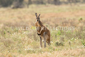 kangaroo_red_buck_standing-1