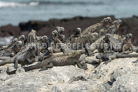 marine_iguana_rock_setting-2