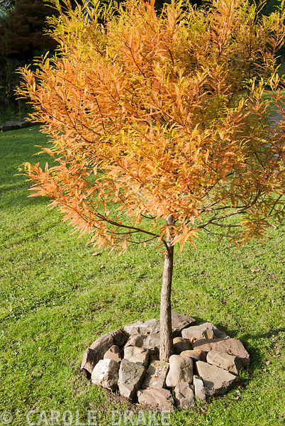 Young specimen of Metasequoia glyptostroboides planted on the mossy lawn and mulched with stone. The Cors, Laugharne, Camarth...