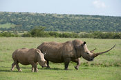 White rhinoceros with calf (Ceratotherium simum), Solio Game Ranch, Laikipia, Kenya