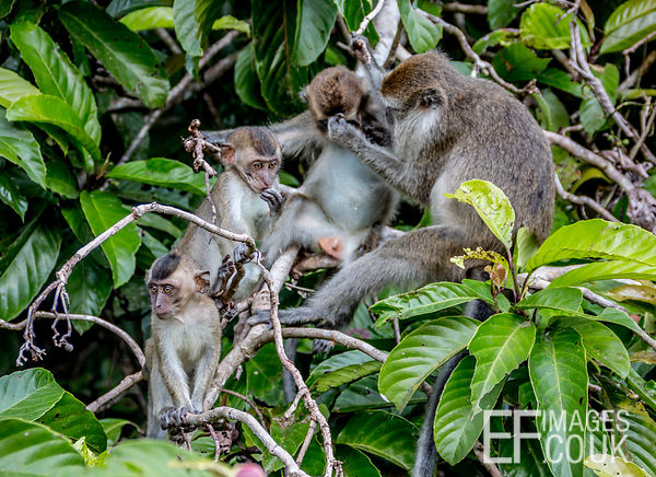Macaque Monkey Family Grooming In The Kinabatangan Rain Forest
