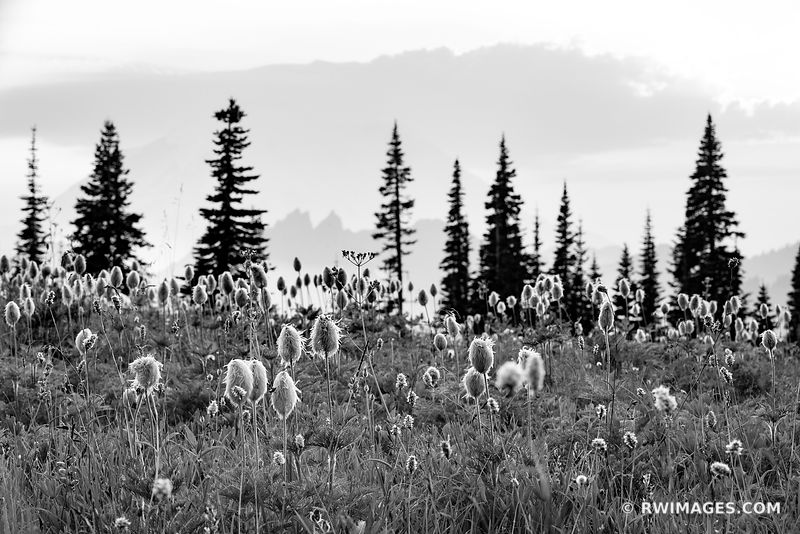 ALPINE MEADOW SUMMER WILDFLOWERS MOUNT RAINIER NATIONAL PARK WASHINGTON BLACK AND WHITE