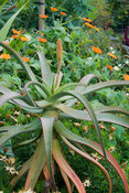 Aloe africanus in a border of exotic looking specimens including orange flowered tithonia. Bourton House, Bourton-on-the-Hill...