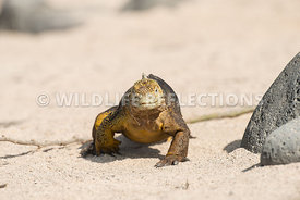 galapagos_land_iguana_north_seymour_walk-1