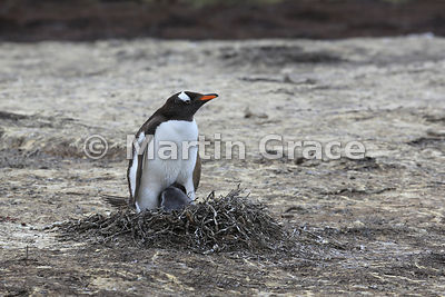 Gentoo Penguin (Pygoscelis papua papua) guarding its late-hatched chick on the nest, colony beneath Middle Peak, Pebble Islan...