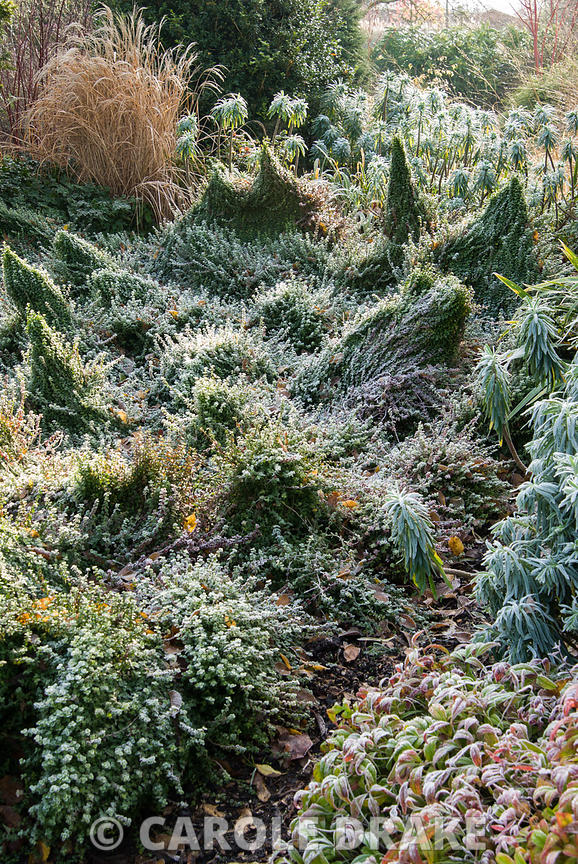 Frosted border in the Winter Garden with undulating mounds of Euonymus fortunei 'Minimus' and colourful Nandina domestica 'Wo...