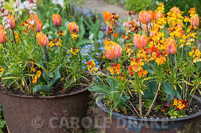 Tulipa 'Prinses Irene' with wallflowers in large metal planters.