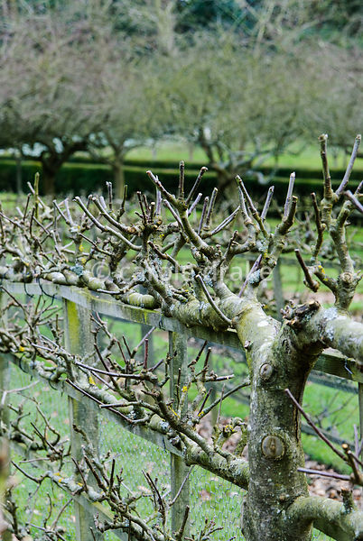 Espaliered apples and pears are grown against the fences around the geometric Kitchen Garden. Painswick Rococo Garden, Painsw...
