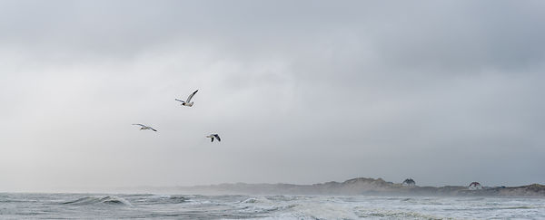 Danish seagulls on the coast 5