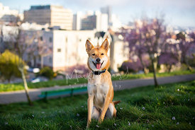 Brown and White Dog Sitting in Grass Smiling on Hill with City Background