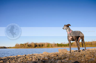 expressive dog looking sideways standing on lake shore beach