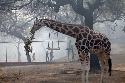 Giraffe (Giraffa camelopardalis), National Zoo, Delhi, India
