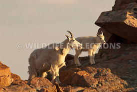 mountain_goat_nanny_and_kid_on_rocks