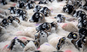 Flock of swlaedale sheep in pens. Cumbria, UK.