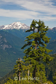 Mountain Hemlock (Tsuga mertensiana) with Glacier Peak in the distance from Mt. Forgotten Meadows, Mt. Baker-Snoqualmie Natio...