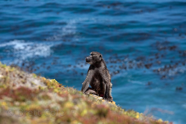 Chacma baboons from the Cape Point on a cliff at Cape Point, with the Atlantic Ocean in the background, Cape Peninsula, South...