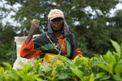 Tea picker, Satemwa tea estate, Thyolo, Malawi