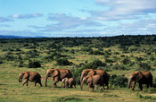 Elephants, Loxodonta africana africana, Addo Elephant National Park, South Africa