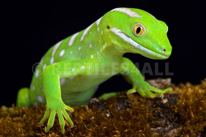 Northland green gecko (Naultinus grayii )
