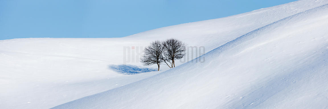 Apple trees in a snow covered landscape