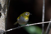 Cape white-eye, Zosterops virens, Wilderness, South Africa