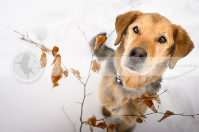 tan mixed breed dog staring upward from snow and leaves
