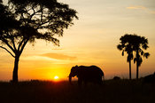 African elephant at sunset, Loxodonta africana africana, Murchison Falls National Park, Uganda