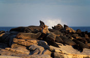 Cape fur seals (Arcocephalus pusillus pusillus) , Lamberts Bay,  Northern Cape, South Africa