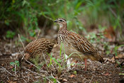 Crested francolin, Dendroperdix sephaena, Kruger National Park, South Africa