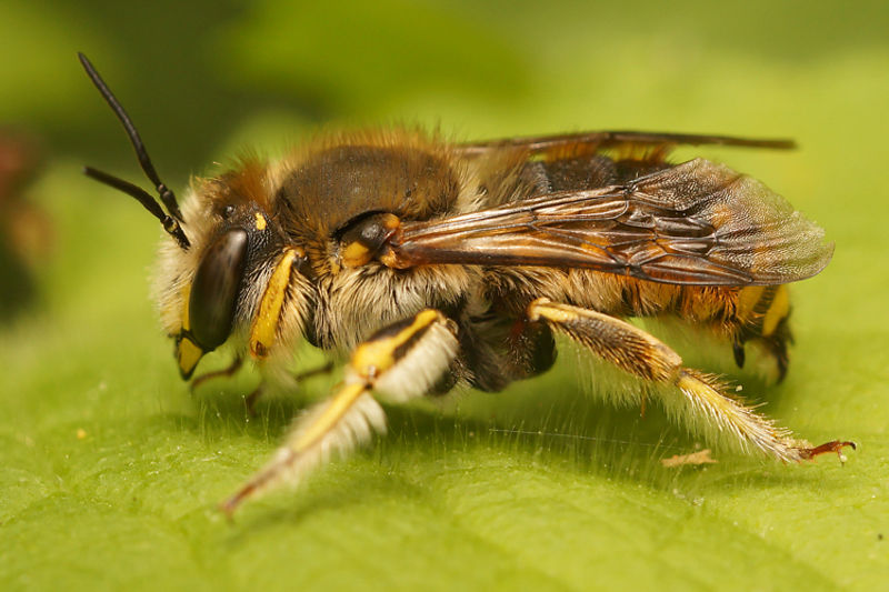 Grote wolbij - Anthidium manicatum, male