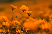 Annual daisies, Namaqua National Park, Namaqualand, South Africa