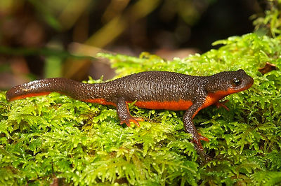 Taricha rivularis hybrid - Red bellied newt hybrid