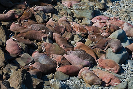 Pacific Walrus males resting on a Round Island rocky beach