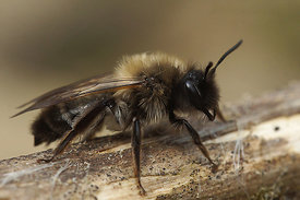 Andrena nycthemera, female at Durmplassen, Merendree
