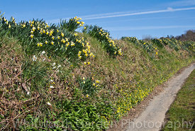 Vestiges of the cut flower daffodil industry in the Tamar Valley, Cornwall. Bulbs were dug up and thrown into the banks and h...