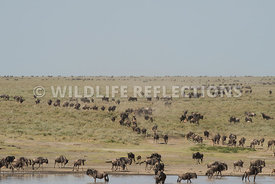 wildebeest_lake_crossing_sequence_02242015-54