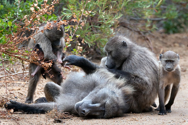 Chacma baboons from the Smitswinkel troop groom the alpha male, near Gumshoes, Cape Peninsula, South Africa