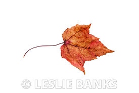 Dried brown and red maple leaf