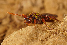Nomada flava, female ?