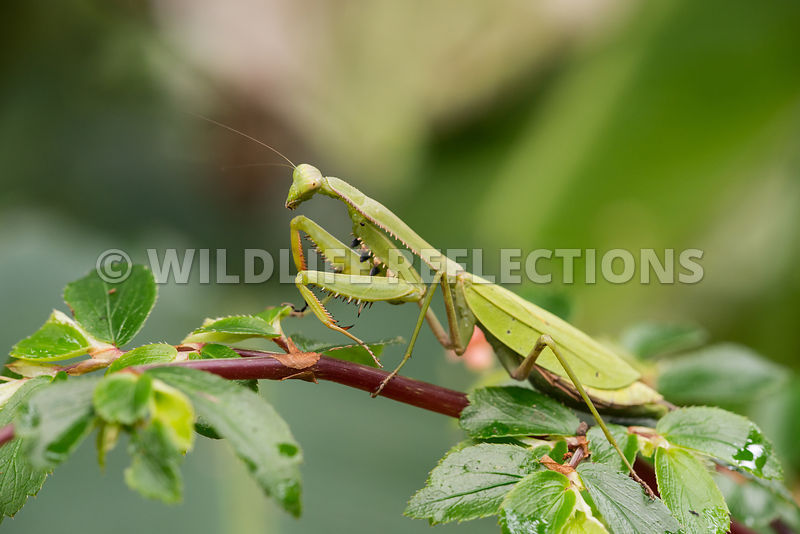 praying_mantis_cloud_forest-9