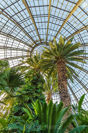 Palm Trees in the Anna Scripps Whitcomb Conservatory in Belle Isle Park